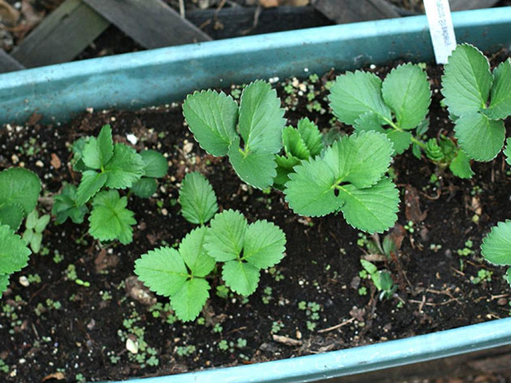 Когда сажать землянику и клубнику на рассаду 13