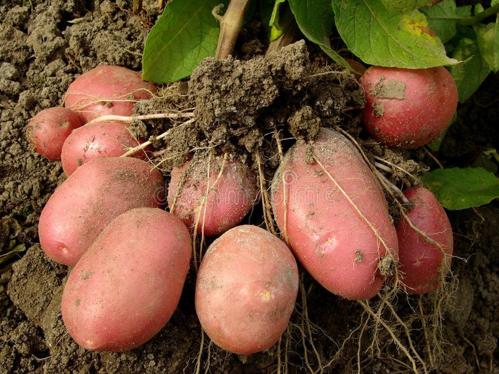 Когда на кубани сажать картошку 74