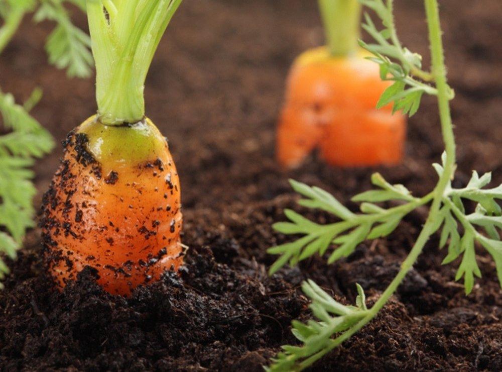 Когда сажать в мае морковь 64