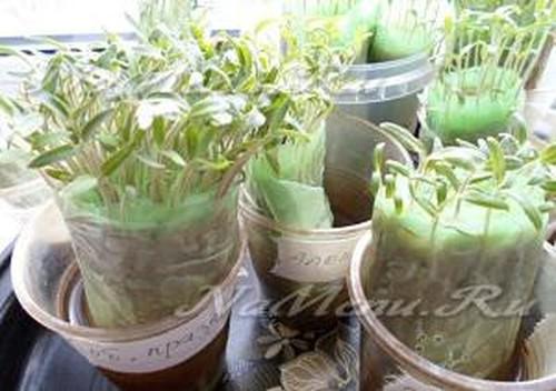 Методика проращивания семян