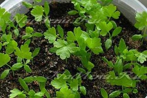Как сажать семена сельдерея 38