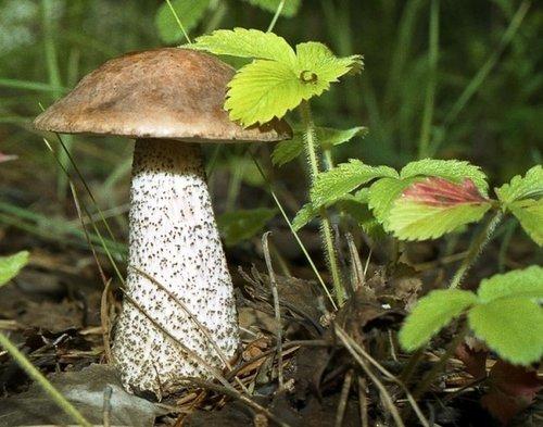 Когда пойдут грибы в 2017 в Подмосковье