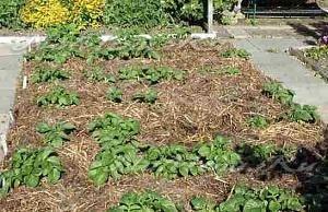 Выращивание картошки с умом без прополки