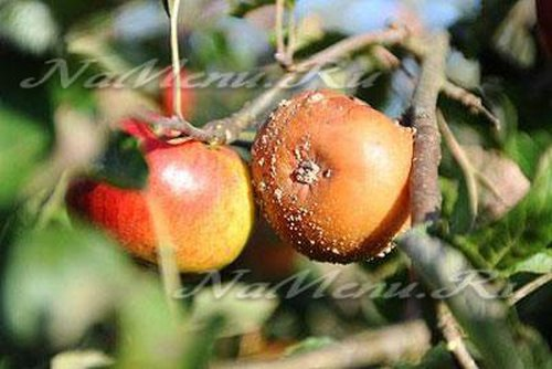 Болезни коры яблонь и их лечение фото