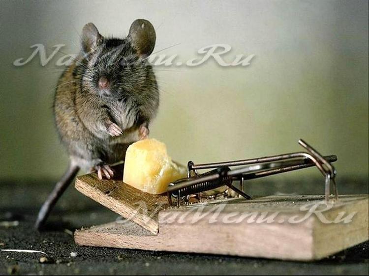 как избавиться от крыс и мышей в частном доме форум