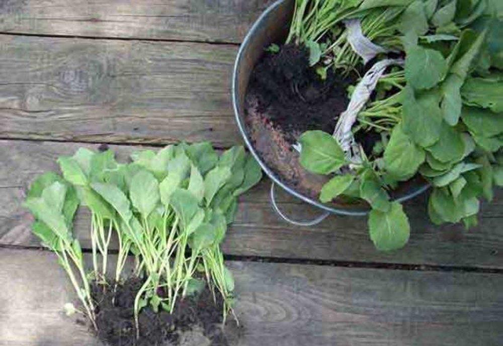 когда высевать капусту на рассаду
