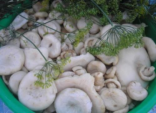 Вкусные белянки (грибы): как солить